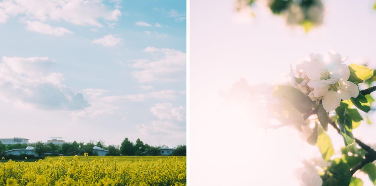 Rapsfeld & Frühlingsblüten
