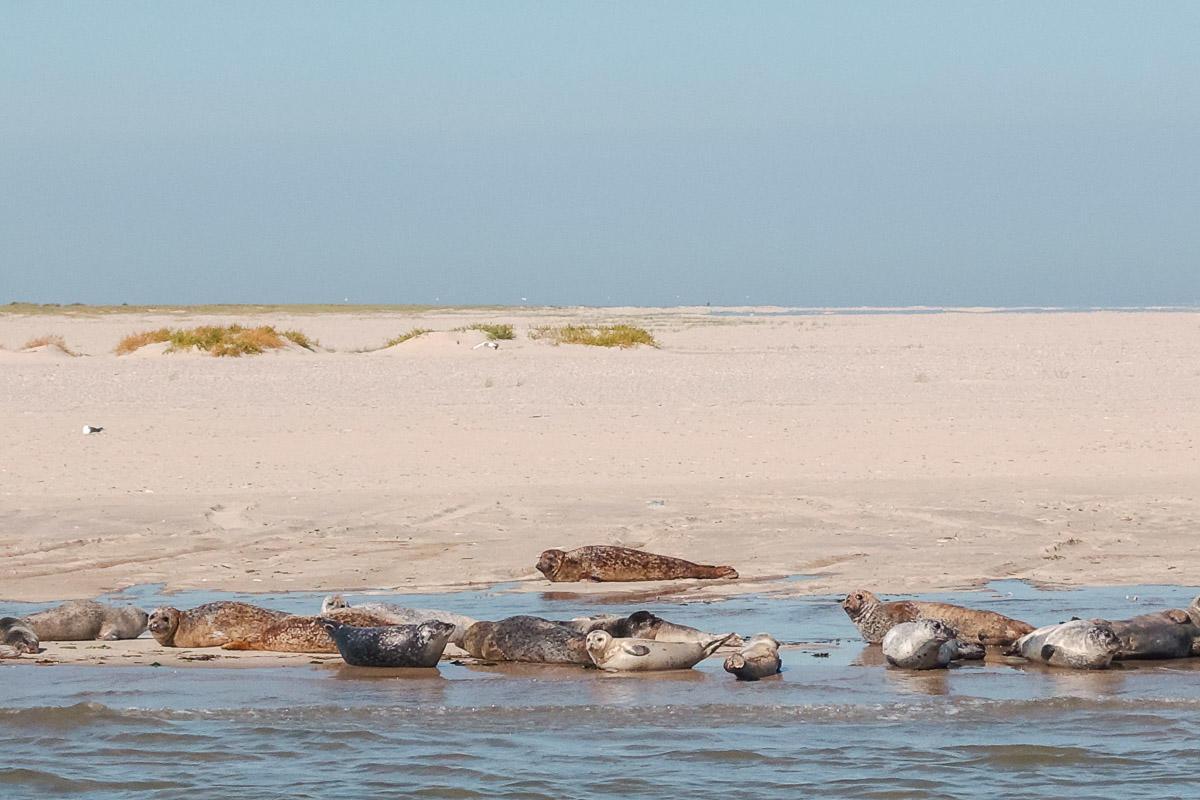 Seehunde auf Langeoog