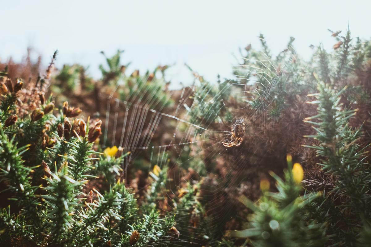 Spinne bei Sonnenuntergang im Rittersporn auf Howth