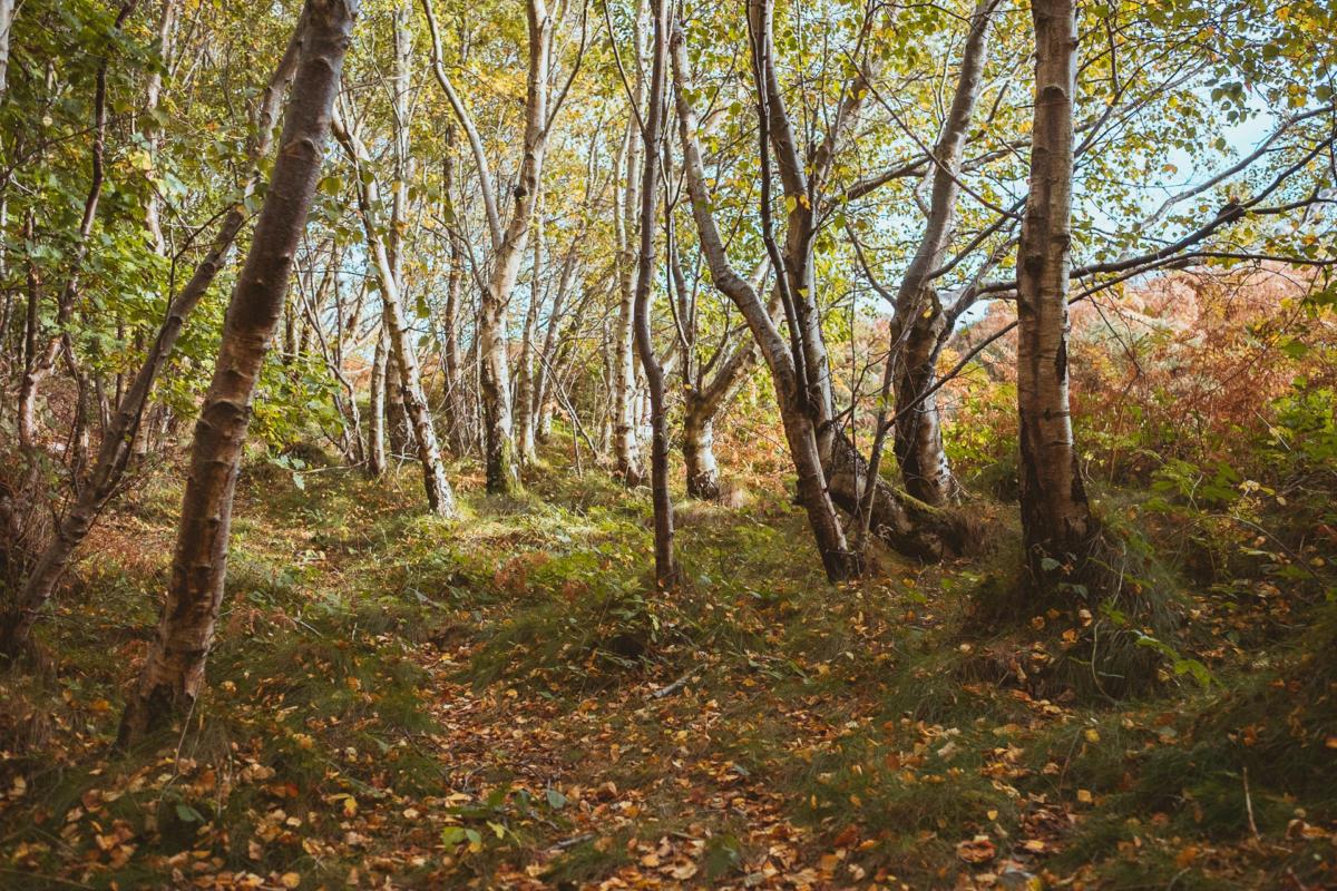 Birkenwald im Herbst bei tiefstehender Sonne