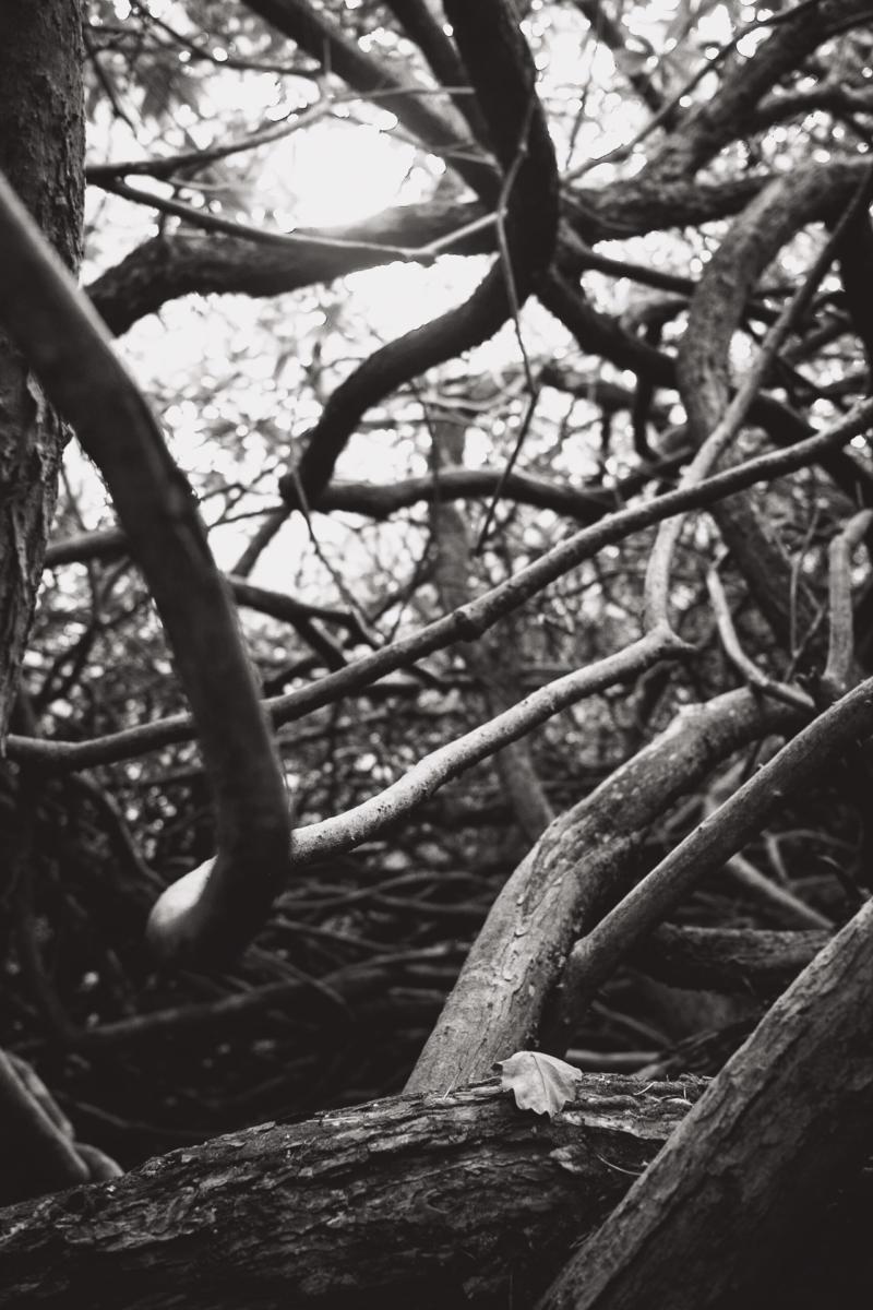 schwarzweiße Äste eines Rhododendrons