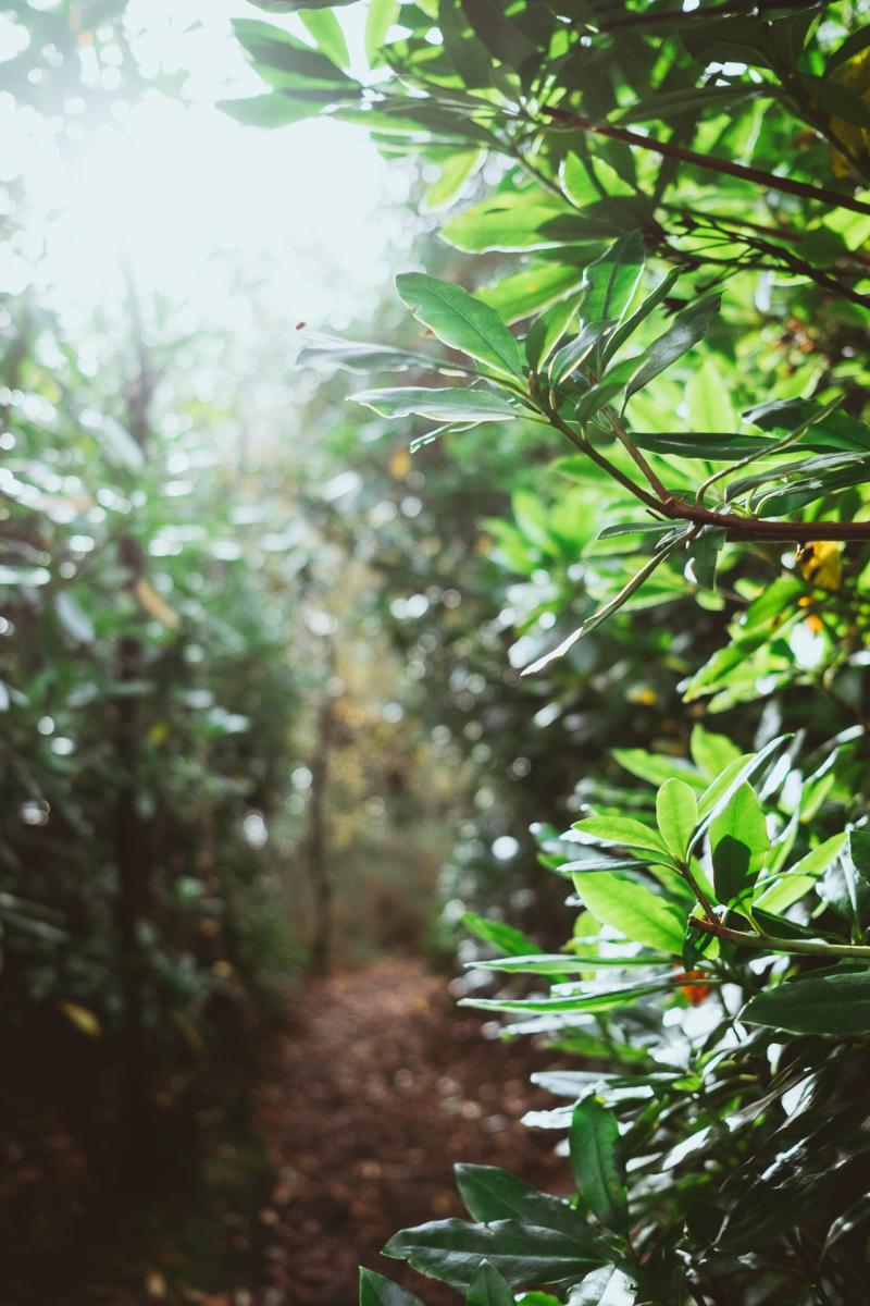 Blätter eines Rhododendrons