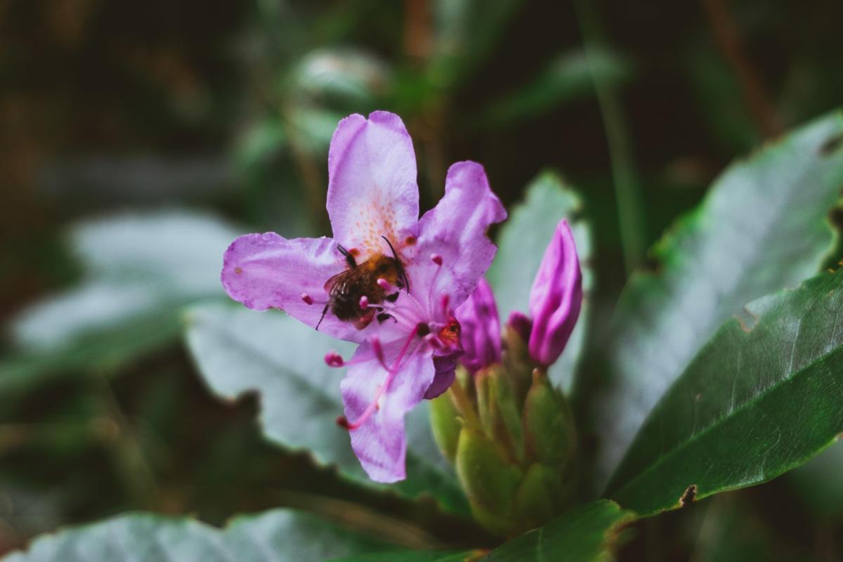 eine Biene besucht die letzte Blüte des Rhododendrons im Herbst