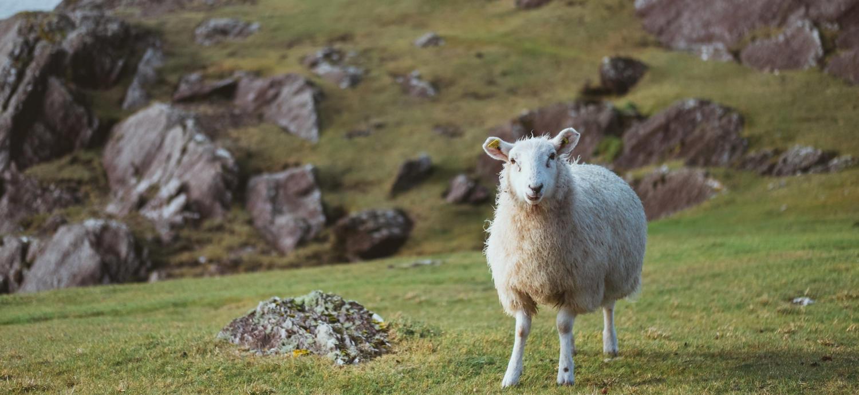 Irland Beara Peninsula Schaf Fotografie